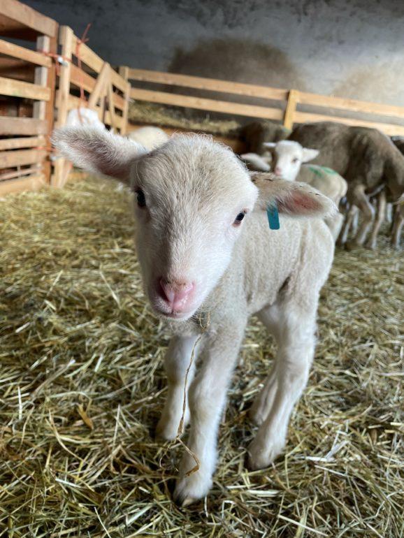 saison de l'agnelage