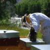Ça butine chez les abeilles en Oisans